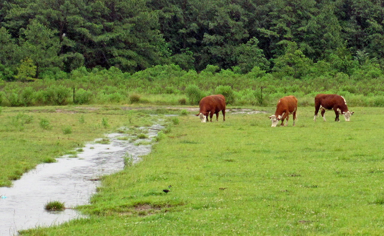 <p>Unrestricted grazing next to a drainage ditch can negatively affect water quality and stream habitat.</p>
