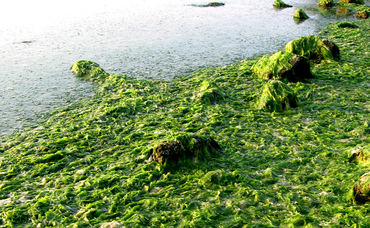 <p>Too many nutrients such as phosphorus in the Bay create large mats of floating algae, preventing sunlight from penetrating the water.</p>