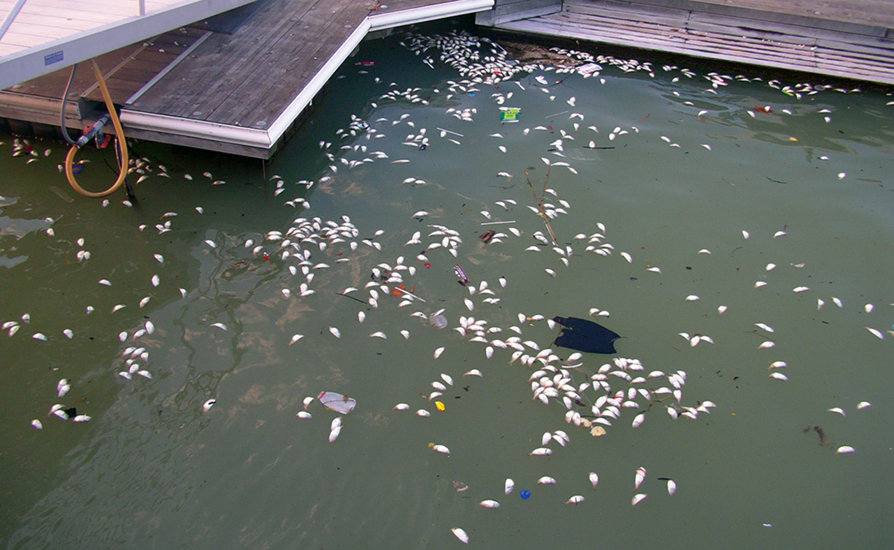 <p>Low dissolved oxygen levels may lead to fish kills, such as this one in Baltimore Harbor. Source: MD Department of the Environment.</p>