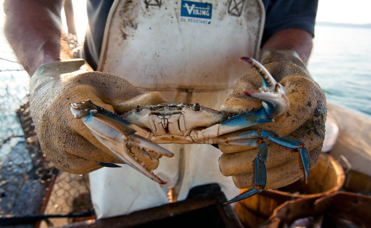 <p>The blue crab fishery in the Bay is approximately 93% commercial and 7% recreational. Source: US Department of Agriculture.</p>