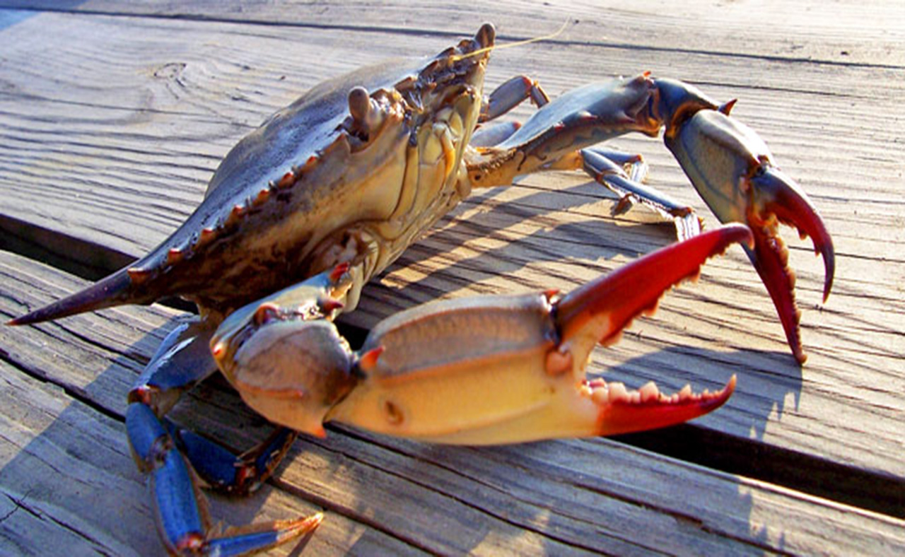 <p>Blue crabs are good indicators of Bay health because they live in many different parts of the Bay during their lifetime. Source: Chesapeake Bay Foundation.</p>