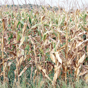 Corn and other crops withered during 2007 drought across the Delmarva Peninsula. (Photo courtesy of B. Fertig, IAN).