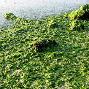 Macroalgae bloom, Ulva lactuca (sea lettuce), that washed up onto the Oxford beach along the Tred Avon River. (Photo courtesy of C. Wicks, IAN).