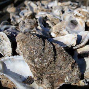 A collection of oyster shells. (Photo courtesy of J. Thomas, IAN).