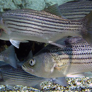 A school of striped bass. (Photo courtesy by Bemep, Flickr commons).