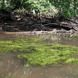 Floating mat of green algae present on the North Fork Tred Avon River in Easton, MD. (Photo courtesy of J. Hawkey, IAN).