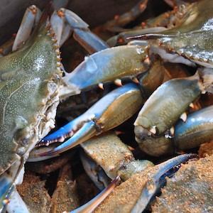 Blue crabs are an indicator to Bay health. They are vulnerable to pollution, habitat loss, and harvest pressures. (Photo courtesy of S. Smith, Flickr Commons)