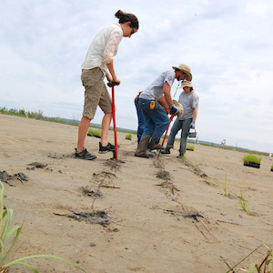 Volunteers participating in community stewardship plant marsh grasses on a barren island. (Photo courtesy flickr commons: Chesapeake Bay Program).